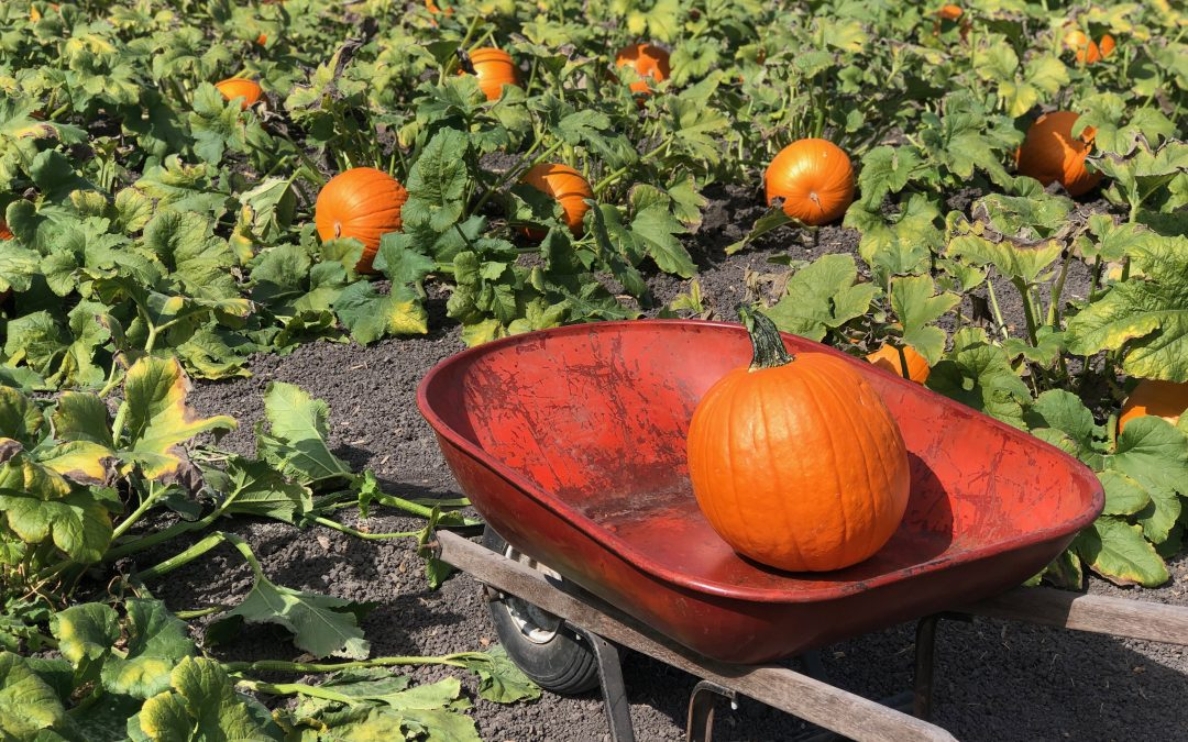 Halloween – Our Selection of Pumpkin Patches in San Francisco and around