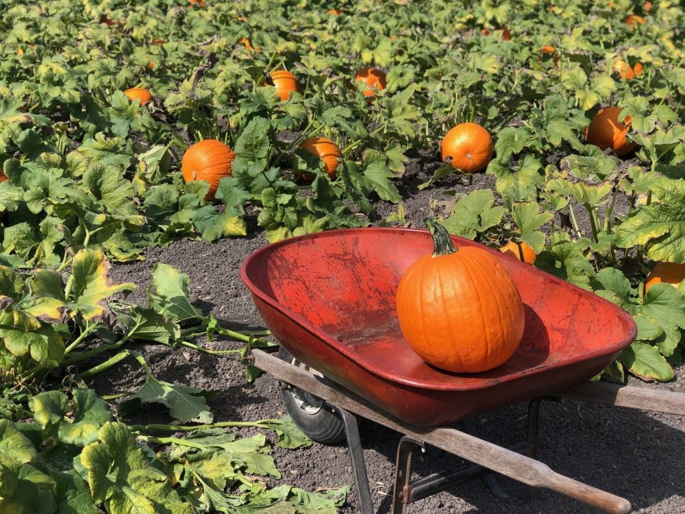 Halloween – Où acheter ses pumpkins à San Francisco et aux alentours