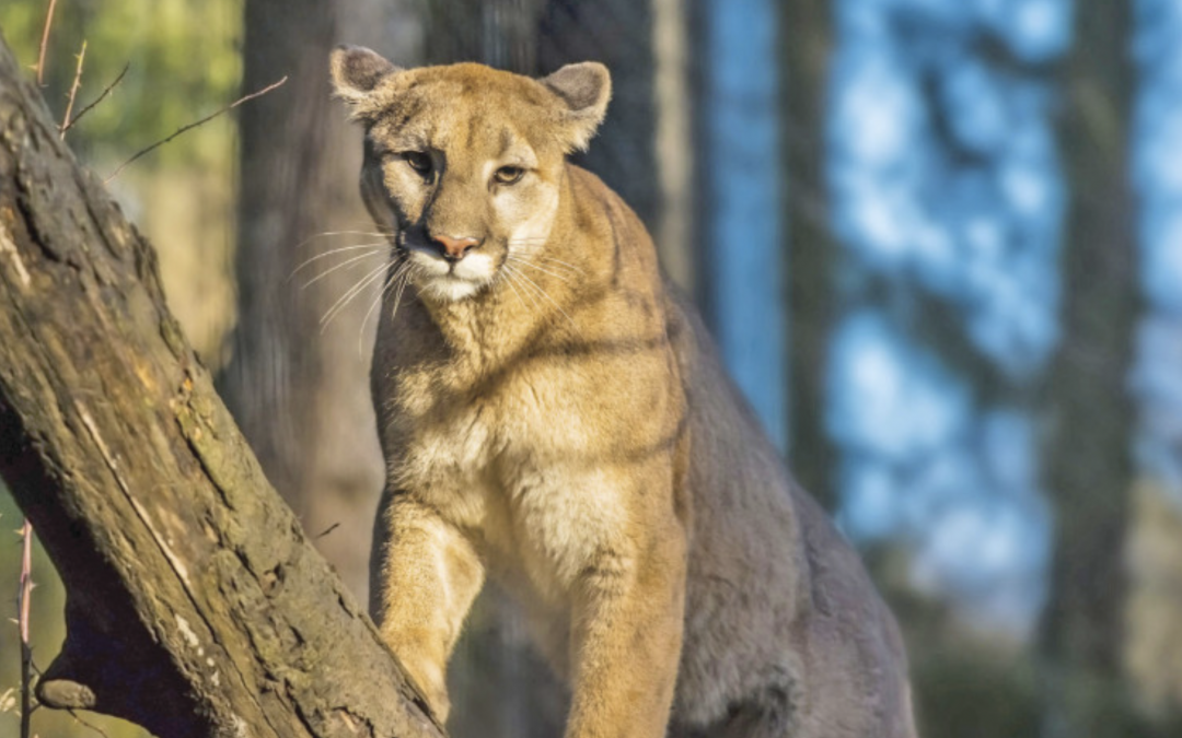 Beware! Mountain Lions a.k.a Pumas spotted in San Francisco
