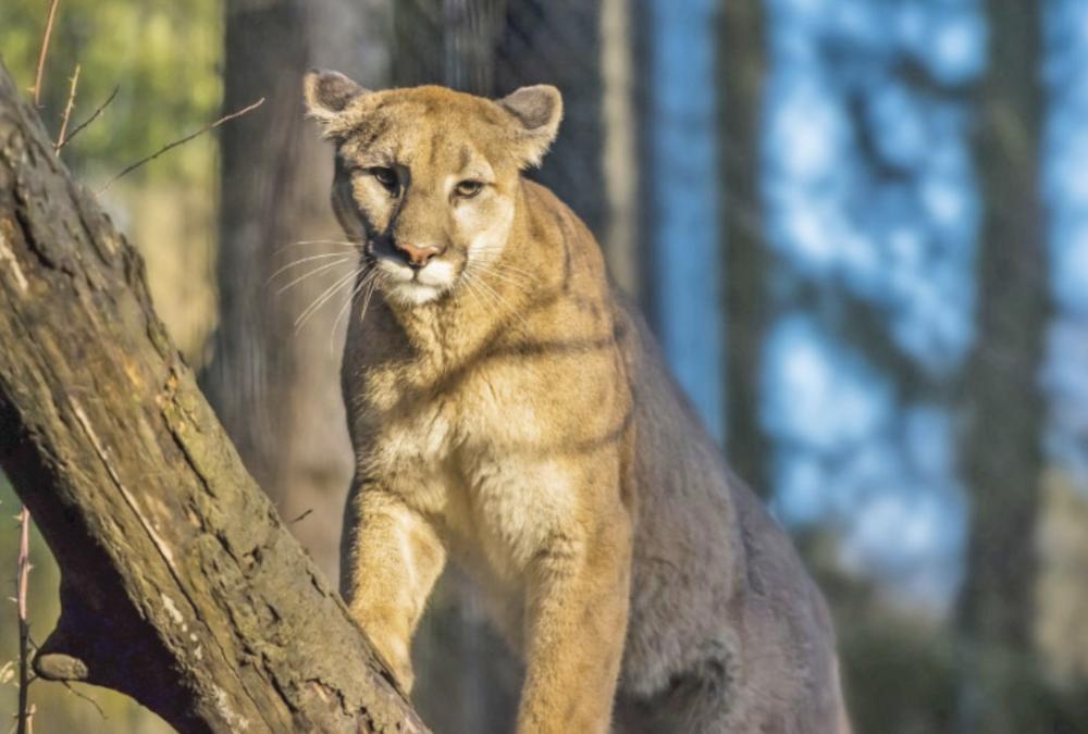 Attention Mountain Lions encore appelés Pumas, repérés dans San Francisco
